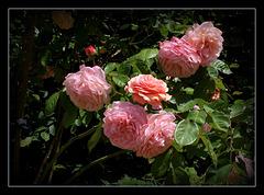 Rose D'Austen