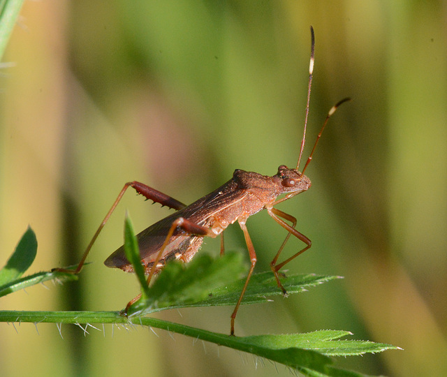 Assassin bug waits for supper