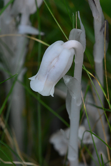 An Indian pipe plant