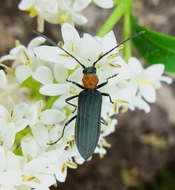 Ischnomera sanguinicollis