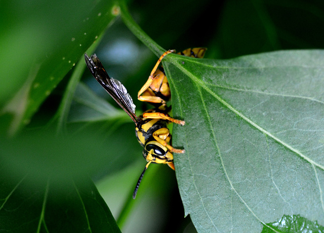 Too big to be a yellow jacket . . .