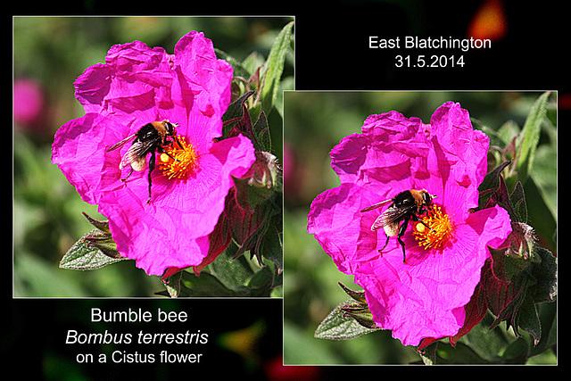 Bombus terrestris on Cistus - East Blatchington - 31.5.2014
