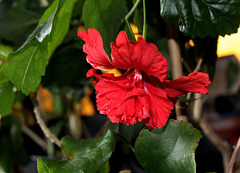 Hibiscus EC