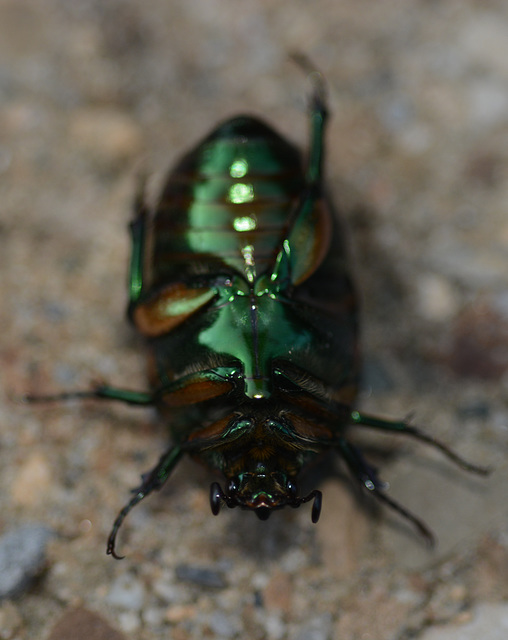 Green scarab, ventral