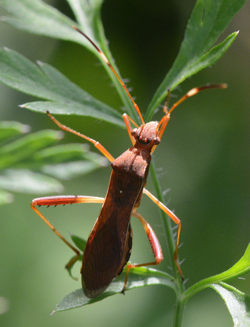 Assassin bug from above