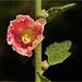 Stockrose in Pink