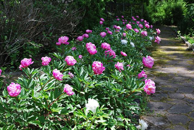 A peony garden path