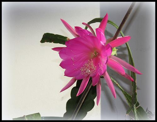 Epicactus hybride (2)