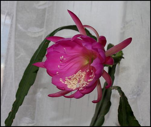 Epicactus hybride (4)