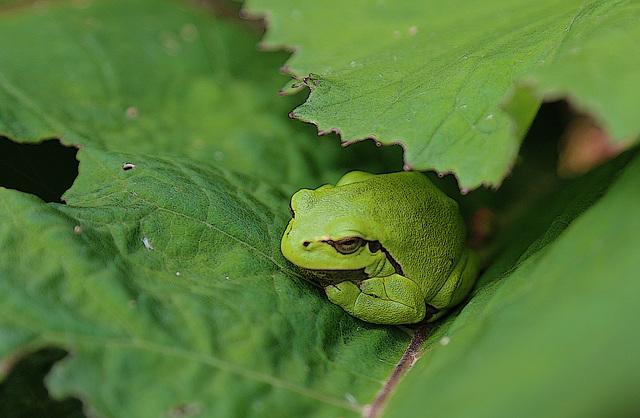 Une petite grenouille verte qui voulait jouer à cache-cache avec moi .