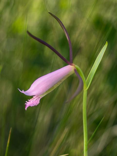 Cleistesiopsis divaricata (Large Rosebud orchid)