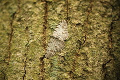 Grey Birch Moth
