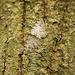 Grey Birch Moth