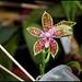 Phalaenopsis corningiana (6)