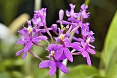 """""""Butterfly"""" Orchid – Botanical Garden, Montréal, Québec"""
