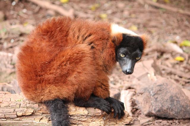 Red Ruffed Lemur.