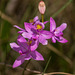 Calopogon barbatus (Bearded Grass-pink orchid)