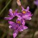 Calopogon barbatus (Bearded Grass-pink orchid)