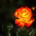 A Rose Flower