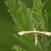Platyptilia pallidactyla