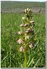 Coeloglosse vert - Orchidacée.
