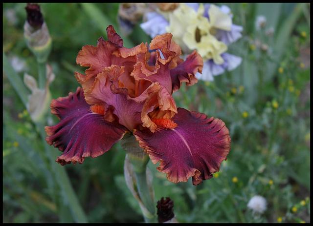 Iris Impressionist (3)
