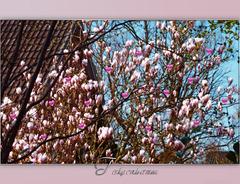 der Tulpenbaum in Nachbars' Garten ✿