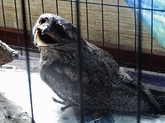injured Tawny Frogmouth