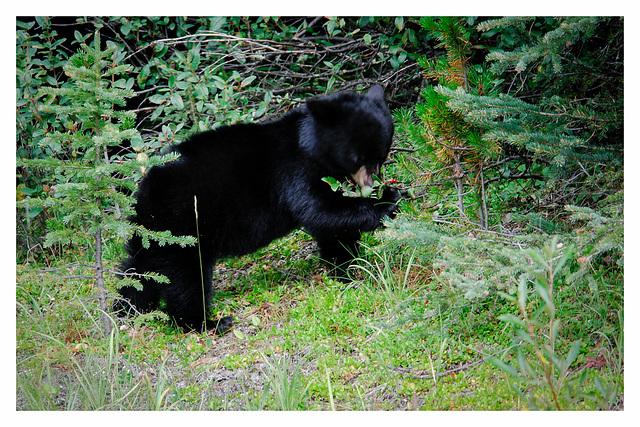 Bear cub in the wild near Jasper