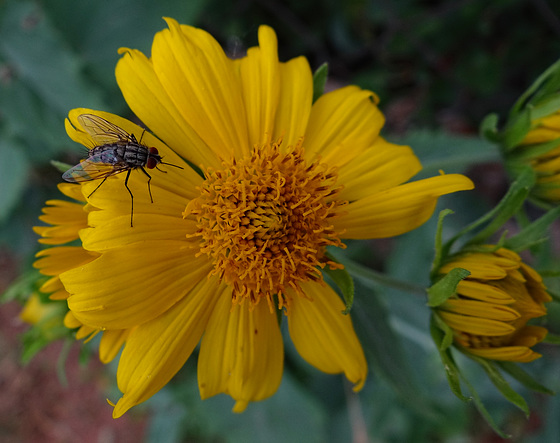 Fly nectating on the first false Sunflowers