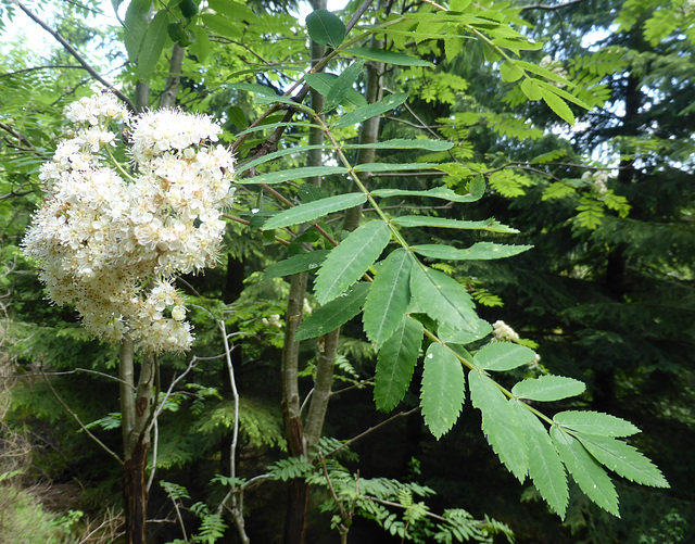blossoming mountain ash /blühende Eberesche