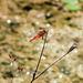 Crocothemis erythraea, Feuerlibelle - 2014-06-21-_DSC3514