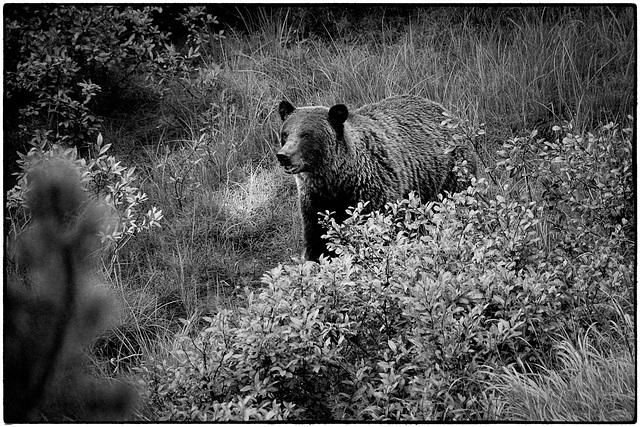 Grizzly bear in the wild near Jasper
