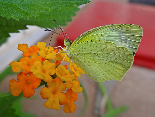 Eurema mexicana (Mexican Yellow Butterfly)