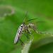 2014_06_07_sat_051b - Leptopterna sp likely Leptopterna dolabrata.