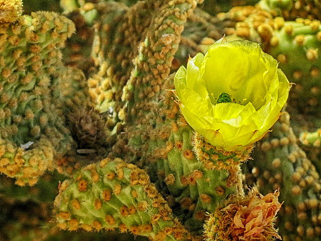 Yellow Cactus Bloom