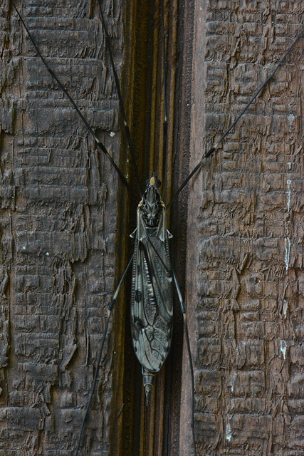 A cranefly or its kin