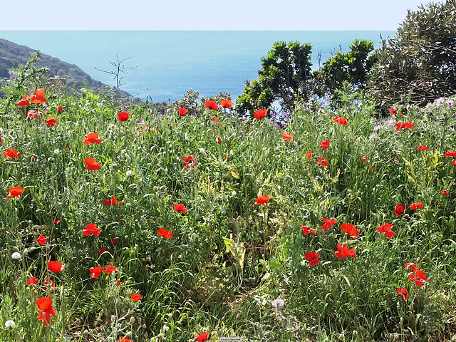 P4221603ac Poppies by the Sea