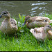 grown-up ducklings