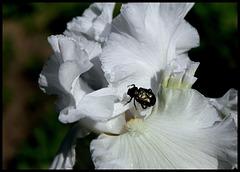 Cétoine-Gnorimus nobilis