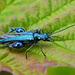 Fat Legged Flower Beetle Oedemera nobilis - male