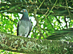 Pigeon  on a Branch