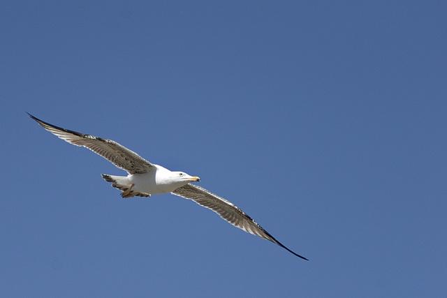 Gull (?)