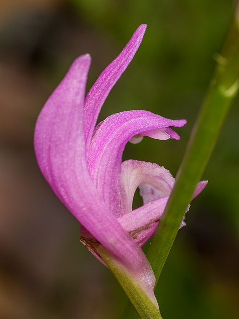 Arethusa bulbosa (Swamp Pink or Dragon's Mouth orchid)