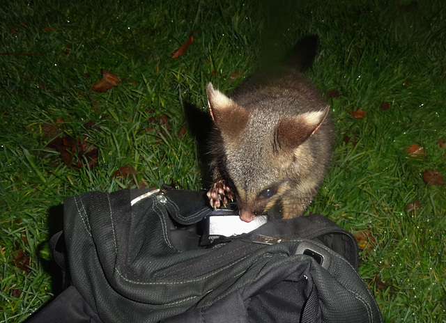 possums in the park