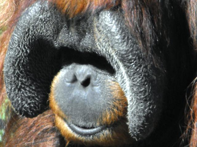 Sumatran Orangutan.