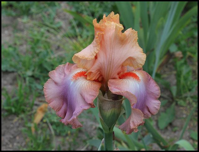 Iris Goodbye heart (2)