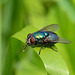 Blow Fly - Green bottle fly (Lucilia illustris sericata)