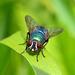 Blow Fly - Green Bottle Neomyia cornicina previously known as Orthellia cornicina