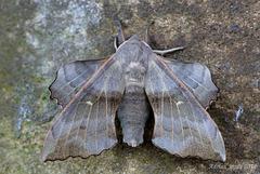 Laothoe populi (Poplar Hawk Moth)